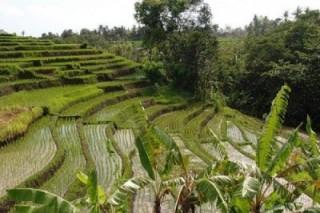 Рисовые поля превратятся в электрические станции