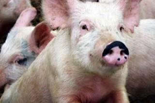 Фермер вырабатывает электричество из продуктов жизнедеятельности свиней