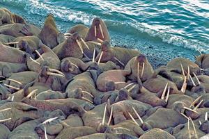 Ученые впервые оценили количество моржей в Баренцевом море
