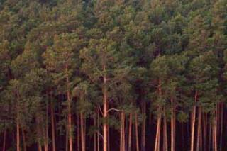 В Удмуртии усыхание хвойных лесов приобрело характер чрезвычайного бедствия