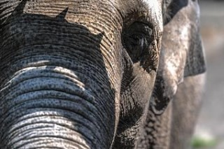 Спасенные от обморожения слоны-погорельцы