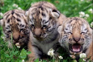 В Приморье спасли тигрят