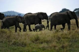СИТЕС дала свое согласие на помощь в расследовании браконьерской охоты на слонов