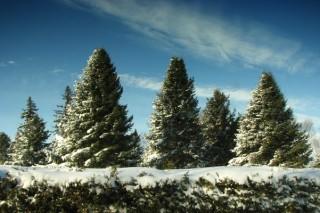 В Ставропольском крае против елочных браконьеров привлекут казаков