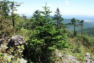 WWF России напоминает – пихта это не «новогодняя елка»