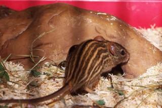 Грызунов из Ленинградского зоопарка, которые занесены в Красную книгу, будут скармливать хищникам