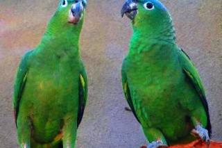 211 краснокнижных попугаев спасено от браконьеров в Парагвае