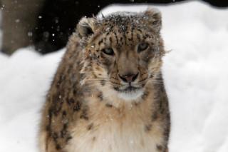 В этом году экологи попытаются сфотографировать котят ирбиса на Алтае