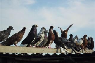 Голуби помогают ученым раскрыть тайну полета