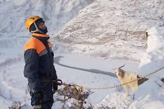 В Горном Алтае сняли со скал коз и овец, которые спасались от волков