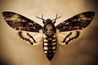 Европейцев пугает говорящая бабочка