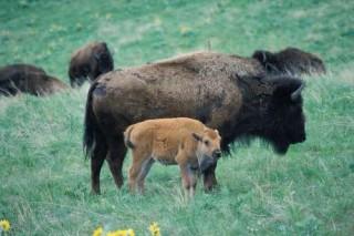 Якутия заплатит 13 млн. руб. за перевозку бизонов из Канады