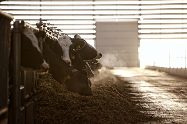 Счастливые коровы дают больше молока, делая счастливыми и хозяев!