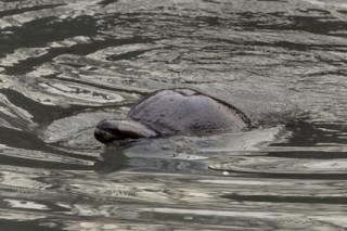 В Австралии дельфин помог местным экологам спасти стаю дельфинов