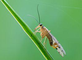 В Южной Америке обнаружили новую разновидность скорпионовых мух