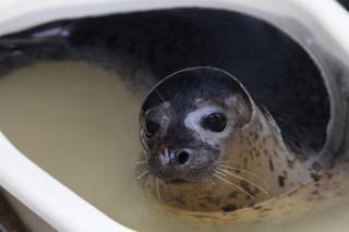 В этом году самые первые тюлени появились на островах Приморья