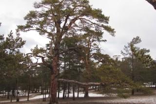 400-летнюю Ольхонскую сосну внесли в реестр старейших деревьев