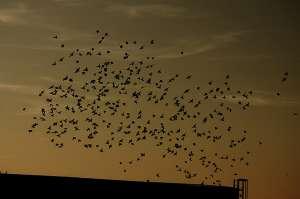 Птицы в стае наблюдают не более чем за семью соседями