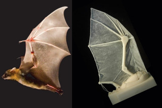 Ученые создали искусственное крыло летучей мыши
