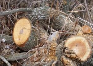Варварство: более 200 деревьев вырублено в Ялтинском заповеднике