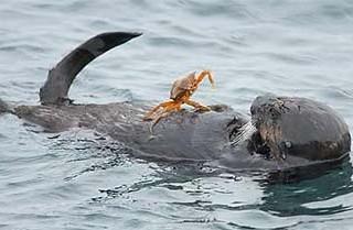Калан, пойманный в очень грязной бухте на Камчатке, умер в приморском океанариуме