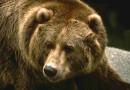 В Швейцарии медведей убивают, а в Румынии их разводят гангстеры