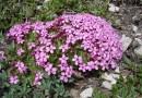 Бесстебельная смолевка помогает выживать другим растениям