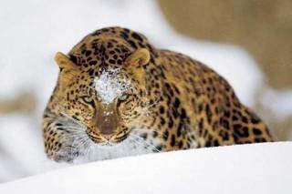 Новосибирский зоопарк передал японскому зоопарку Кобе Ожи самца дальневосточного леопарда