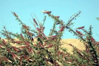 Израиль начинает бороться с саранчой