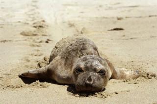 Рекордное количество тюленей-сирот было обнаружено экологами на побережье США
