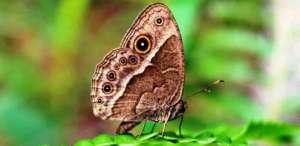 Самки бабочек вычисляют безошибочно инбредных самцов бабочек