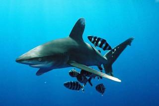 Страны СИТЕС проголосовали за то, чтобы повысить статус нескольких видов акул