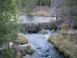Плотины, которые строят бобры, способны вызвать подтопление лесов Томской области
