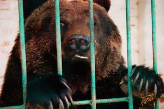 На Алтае ищут сбежавшего из частной усадьбы медведя