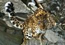 В Приморье уже проложили треть тоннеля, призванного обеспечить безопасность дальневосточного леопарда