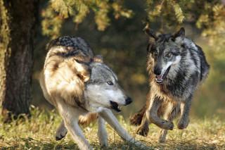 Охотники в Омской области хотят, а чиновники не разрешают отстреливать волков