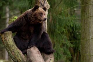 В Томской области медведь залез в автомобиль егеря