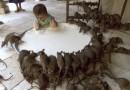 Крысы, лисы и норка продавались под видом баранины