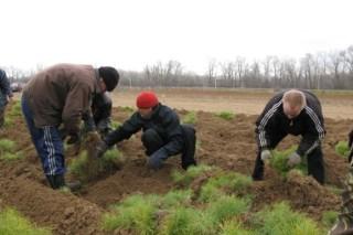 В Курганской области чиновники высадили 15 тысяч саженцев сосны