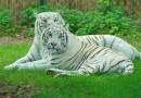 Ученые разгадали секреты белых тигров