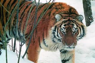 В заповеднике «Бастак» одинокому тигру подыскали тигрицу Золушку