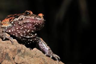 В Израиле нашли живых лягушек, которые вымерли полвека назад