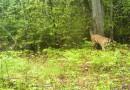 Фотоловушки поймали в Айнюкском нацпарке пару тигров