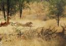 Ученые получили новые сведения о поведении гепардов в дикой природе