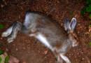 В Пермской области неизвестное животное истребляет кроликов