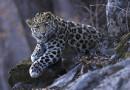 В аэропорту Владивостока открылась выставка «Земля леопардов»