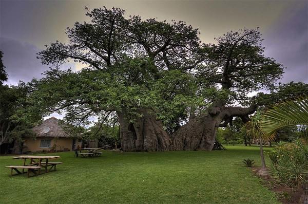 Паб в огромном 6000-летнем баобабе