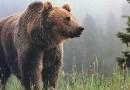 На Камчатке начали использовать ловушку для медведей