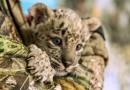 В России готовится масштабный проект по защите исчезающих видов крупных кошек