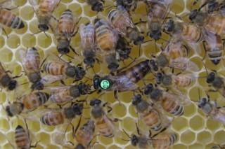 Исследователи выяснили, какую информацию содержат феромоны пчел-королев